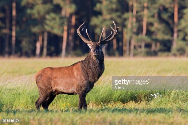 Red deer stag in field at forest 's edge during the rut in autumn