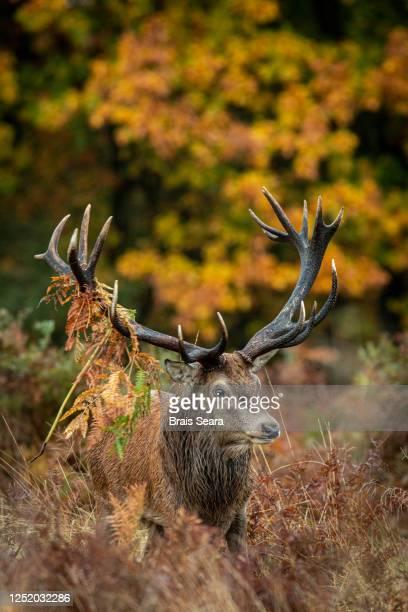 red deer (cervus elaphus) stag in forest during de rut. - deer stock pictures, royalty-free photos & images