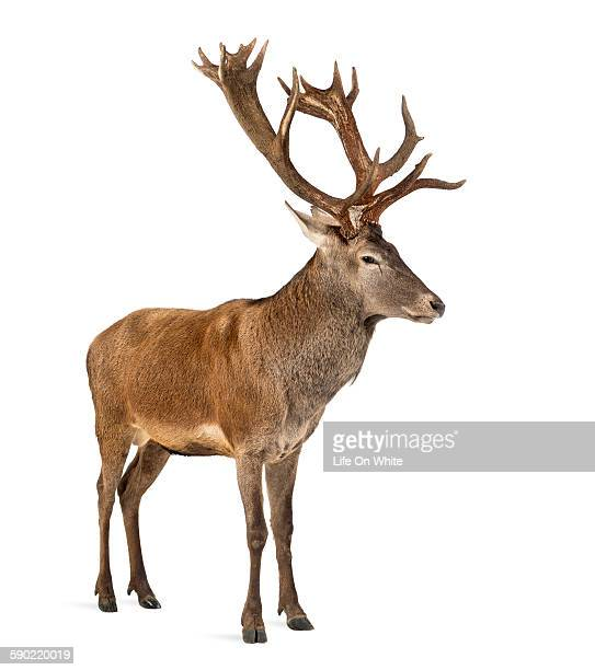 red deer stag in front of a white background - buck ストックフォトと画像