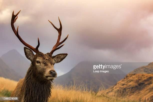 Red deer stag in Glen Etive.