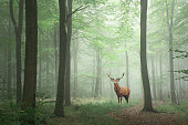 Red deer stag in Lush green fairytale growth concept foggy forest landscape image