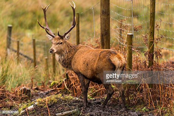 Red deer stag in rural Dumfries and Galloway Scotland