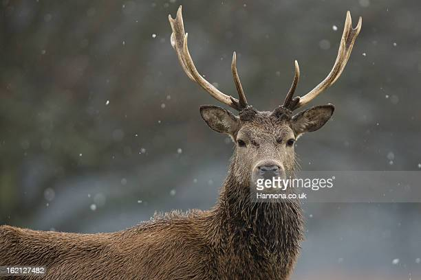 Red Deer Stag in Snowfall