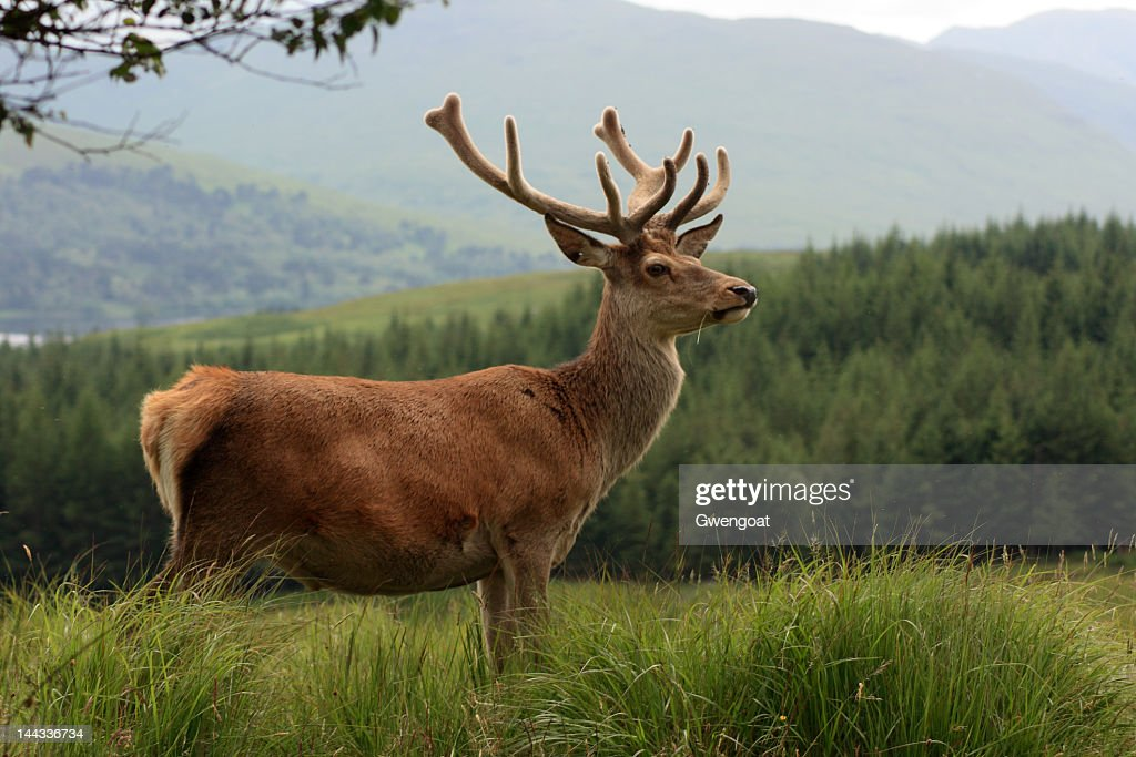 Red deer stag in the Highlands : Stock Photo