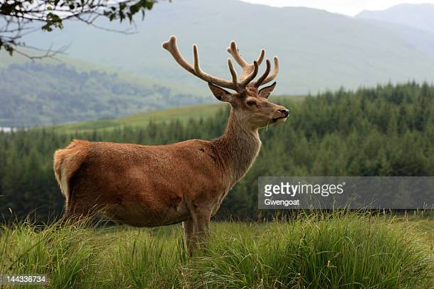 red deer stag in the highlands - gwengoat stock pictures, royalty-free photos & images