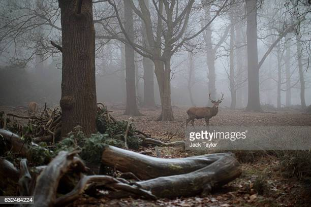 A red deer stag is pictured in the fog in Richmond Park on January 23 2017 in London United Kingdom Thick fog and temperatures below freezing have...