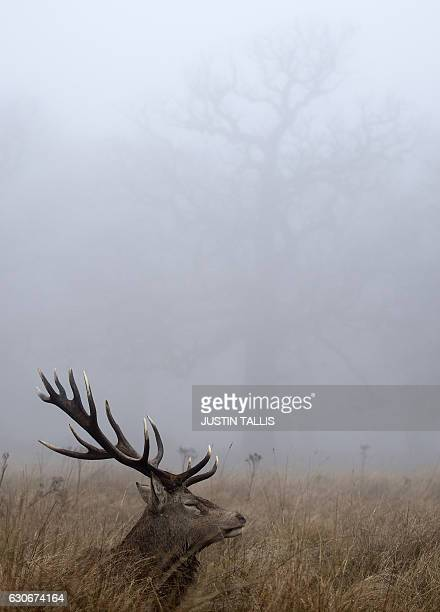 A red deer stag lies in the grass on a foggy morning at Richmond park in south west London on December 30 2016 / AFP / Justin TALLIS