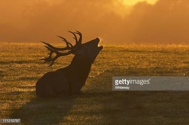 red deer stag sitting roaring at the dawn - bugle stock pictures, royalty-free photos & images