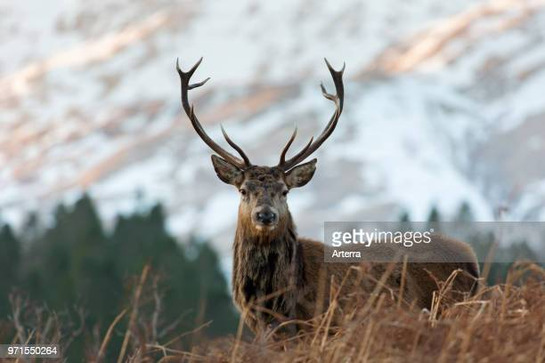 Red deer stag / male on moorland in the hills in winter in the Scottish Highlands, Scotland, UK.