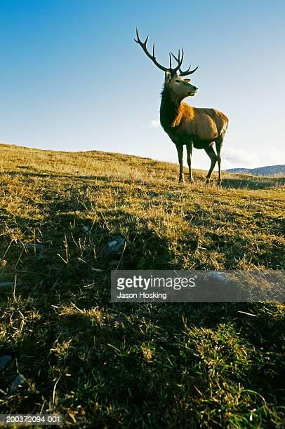 red deer stag on grassy hillside - 牡鹿 ストックフォトと画像