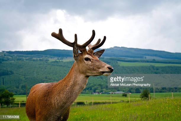 red deer stag - アバフェルディ ストックフォトと画像