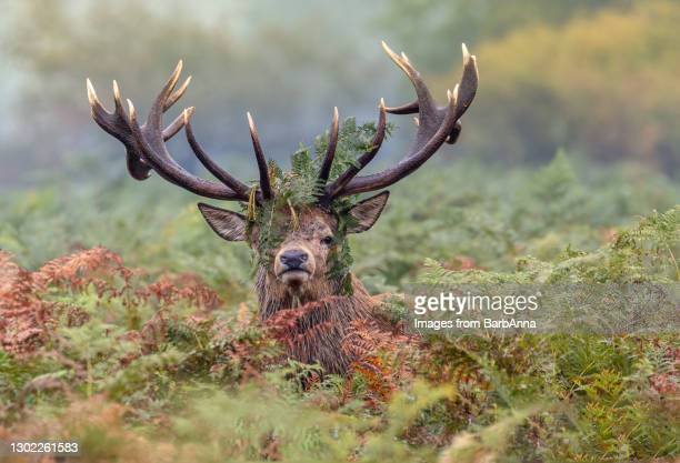 red deer stag - herbivorous stock pictures, royalty-free photos & images