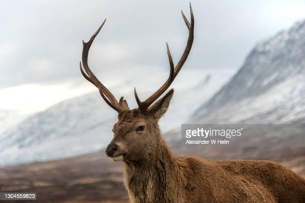 red deer stag - erbivoro foto e immagini stock