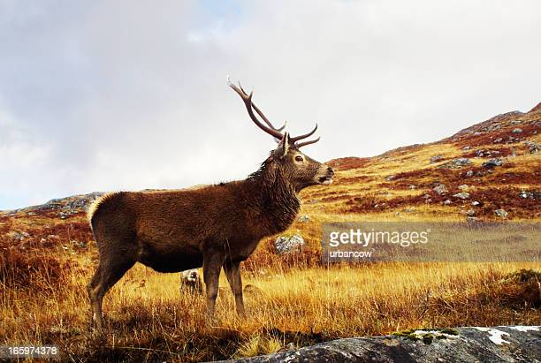 Red deer, stag