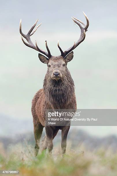 red deer stag. - bucks photos et images de collection