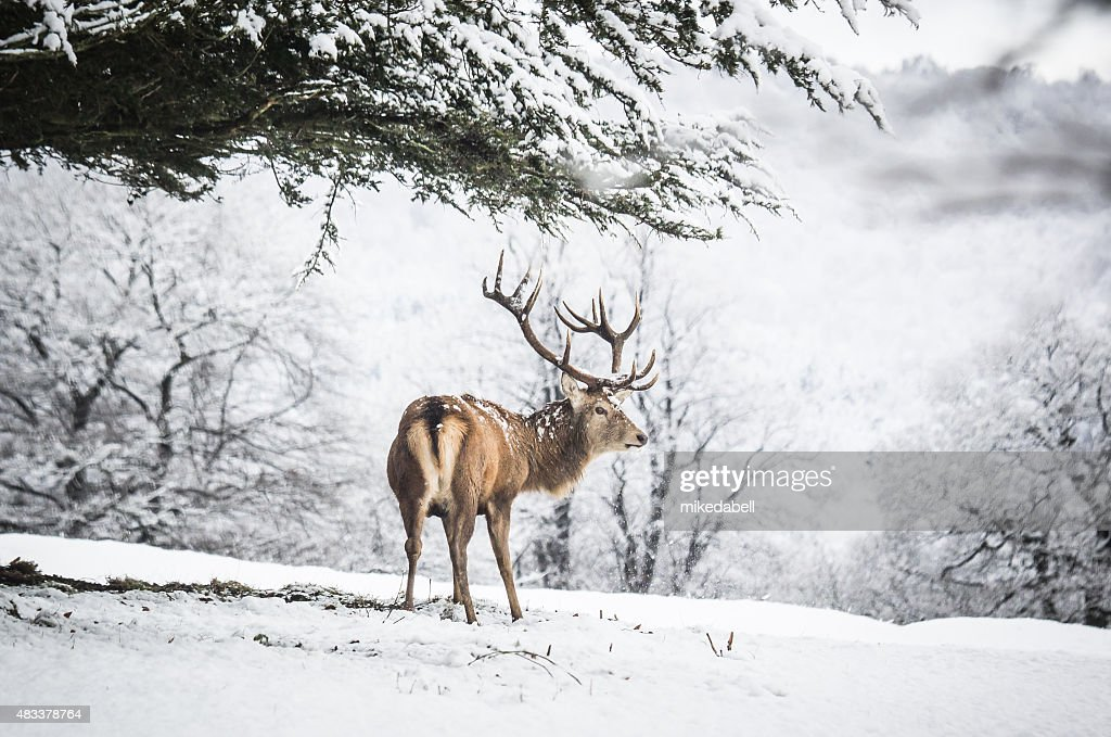 Red Deer Stag : Foto de stock