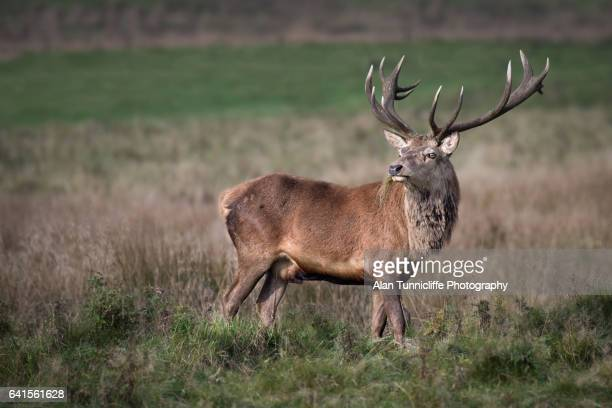 red deer stag - buck stock photos and pictures