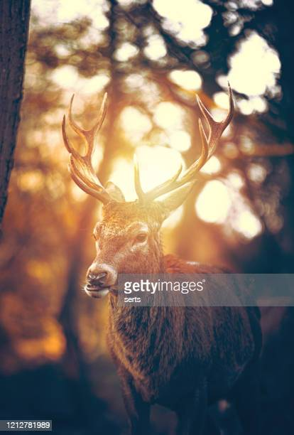 red deer stag portrait - surrey england stock pictures, royalty-free photos & images