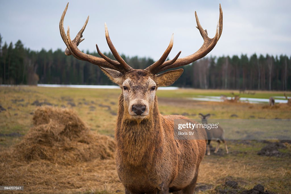 Red deer stag protecting its fawn : Stock Photo
