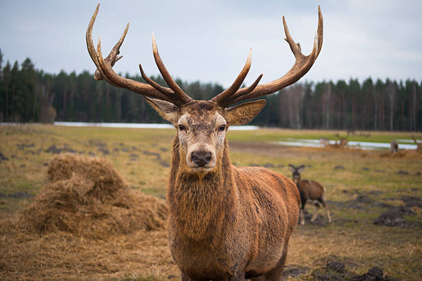 Red Deer Stag Protecting Its Fawn Wall Art