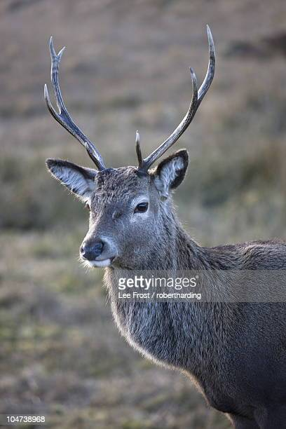 red deer stag, rannoch moor, near fort william, highland, scotland, united kingdom, europe - newpremiumuk stock pictures, royalty-free photos & images