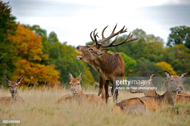 red deer stag roaring, surrounded by its harem - richmond upon thames stock pictures, royalty-free photos & images
