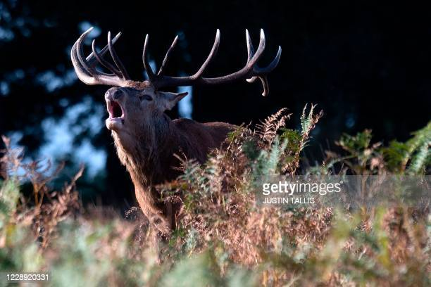 Red deer stag roars in Richmond park during its breeding season, or the rut in south west London on October 6, 2020.