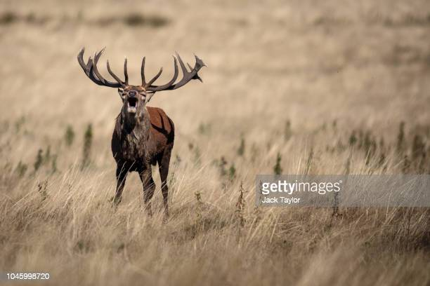 A red deer stag roars in Richmond Park on October 5 2018 in London England The months of Autumn are rutting season for deer which see the male...