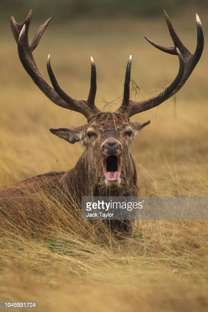 A red deer stag roars on a foggy morning in Richmond Park on October 5 2018 in London England The months of Autumn are rutting season for deer which...