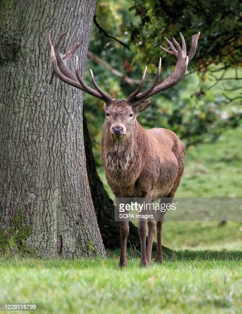 Red deer stag seen at Woburn Deer Park in Bedfordshire at the start of the rutting season.