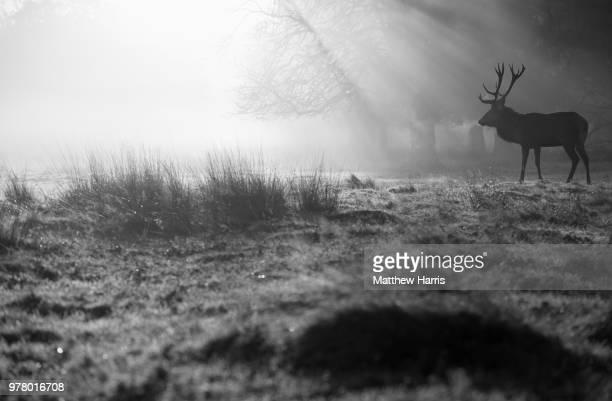 red deer (cervus elaphus) stag silhouette in meadow in richmond park, london, england, uk - リッチモンド公園 ストックフォトと画像