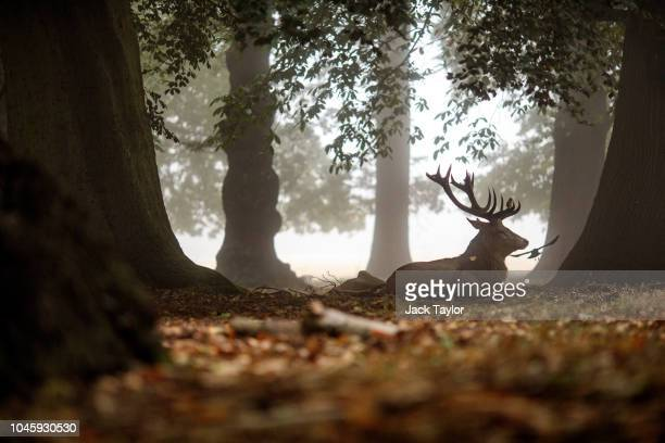 A red deer stag sits amongst the trees on a foggy morning in Richmond Park on October 5 2018 in London England The months of Autumn are rutting...