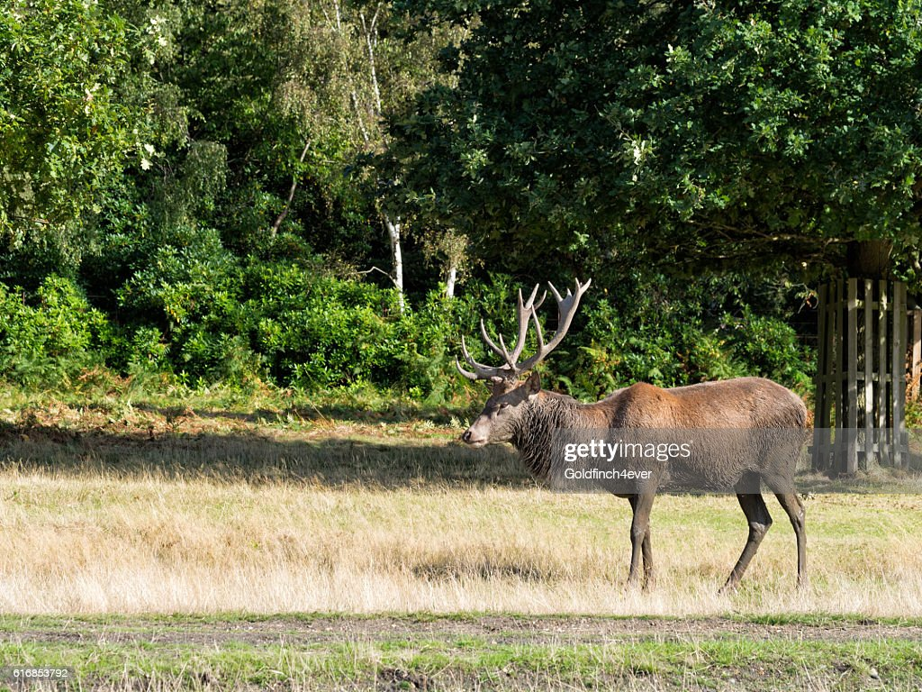 Red deer stag, standing. Cervus elaphus : Stock Photo