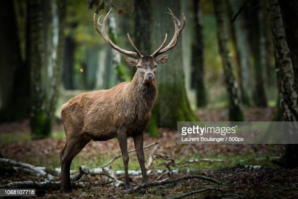 red deer stag standing in forest - bucks photos et images de collection