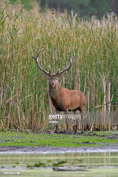Red deer stag standing in the mud on lake bank in front of reed bed during the rut in autumn.