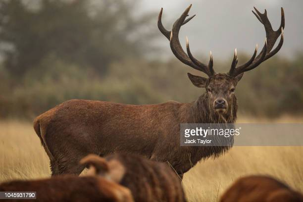 A red deer stag stands by a group of females on a foggy morning in Richmond Park on October 5 2018 in London England The months of Autumn are rutting...
