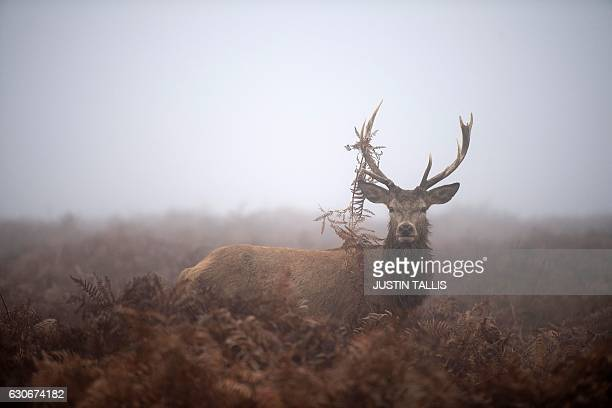 A red deer stag stands in the gorse on a foggy morning at Richmond park in south west London on December 30 2016 / AFP / Justin TALLIS