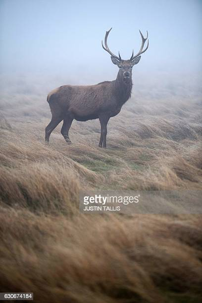 A red deer stag stands in the grass on a foggy morning at Richmond park in south west London on December 30 2016 / AFP / Justin TALLIS