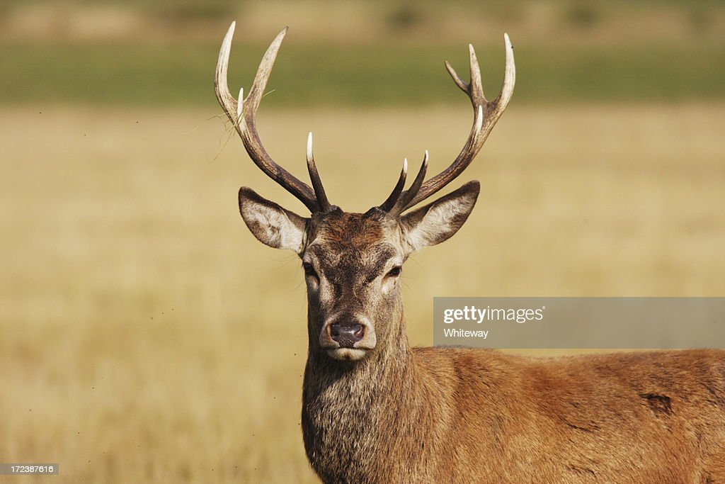 Um hart red deer stag : Foto de stock
