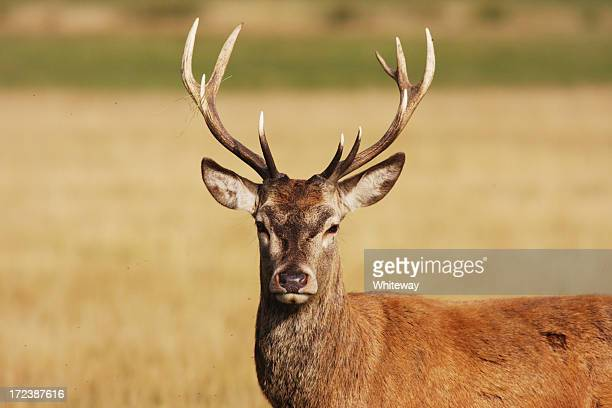 have a hart red deer stag - bucks stock pictures, royalty-free photos & images