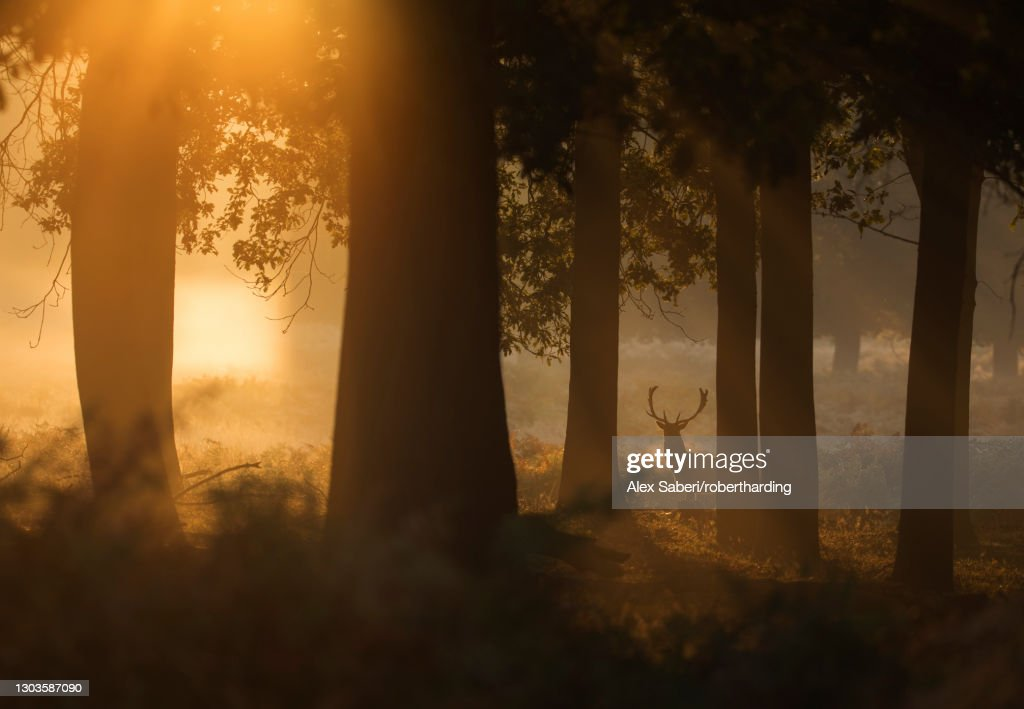 A red deer stag (Cervus elaphus) waits between the trees one stunning misty autumn sunrise in Richmond Park, Richmond, Greater London, England, United Kingdom, Europe : Stock Photo
