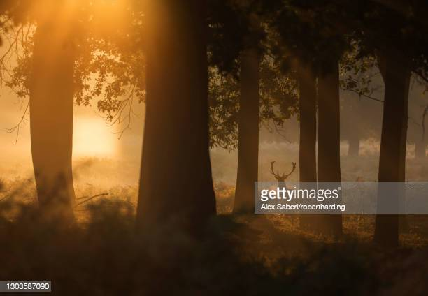 a red deer stag (cervus elaphus) waits between the trees one stunning misty autumn sunrise in richmond park, richmond, greater london, england, united kingdom, europe - alex saberi stock pictures, royalty-free photos & images