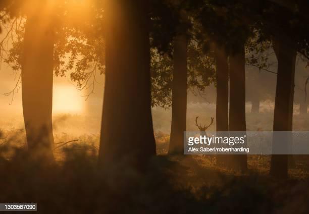a red deer stag (cervus elaphus) waits between the trees one stunning misty autumn sunrise in richmond park, richmond, greater london, england, united kingdom, europe - alex saberi stock-fotos und bilder