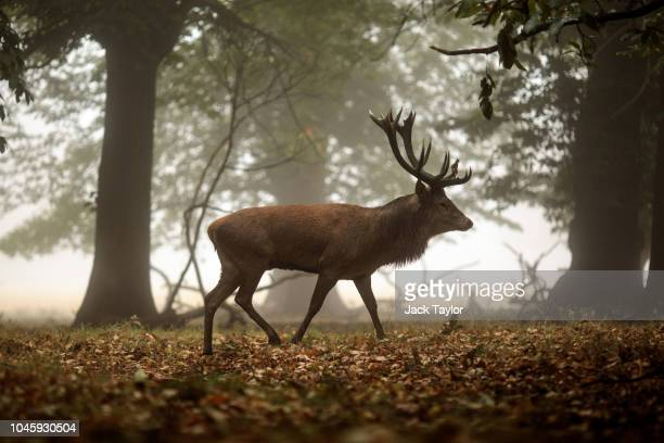 A red deer stag walks among the trees on a foggy morning in Richmond Park on October 5 2018 in London England The months of Autumn are rutting season...