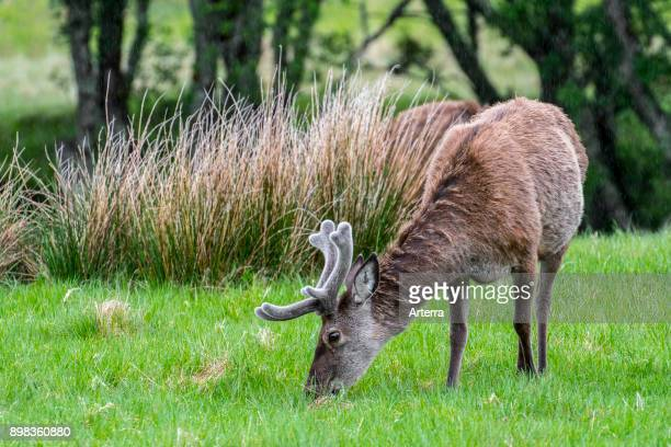 Red deer stag with antlers covered in velvet grazing in grassland in the rain in the Scottish Highlands in spring Scotland United Kingdom