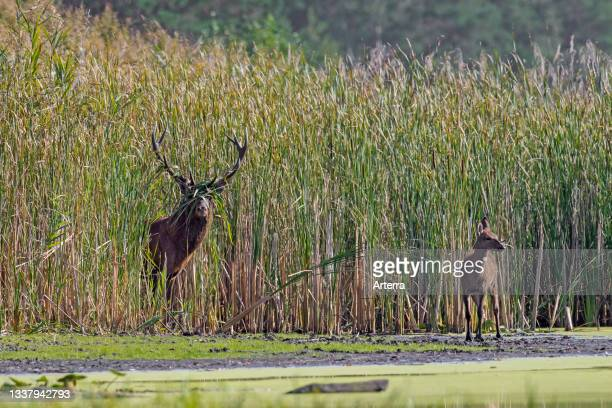 Red deer stag with calf emerging from reed bed along lake during the rut in autumn.