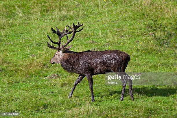 Red Deer stag with fur and antlers covered in mud during the rut in autumn