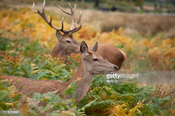 red deer stag with its fawn alerted - boris stock pictures, royalty-free photos & images