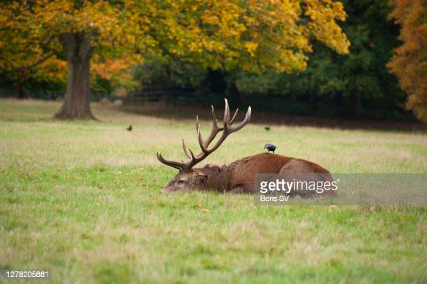 red deer stag with jackdaw - boris stock pictures, royalty-free photos & images