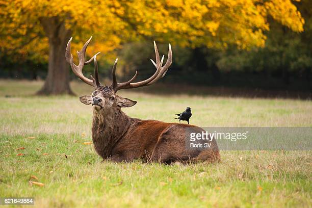 Red Deer Stag with Jackdaw